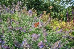 Banho de sol da borboleta de pavão nas flores no jardim do outono Fotos de Stock Royalty Free