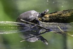 Banho de sol da tartaruga no log de madeira Imagens de Stock Royalty Free