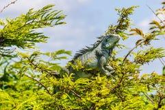 Banho de sol na floresta úmida das Amazonas, Brasil da iguana imagem de stock royalty free