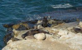 Banho de Sun dos leões de mar Imagens de Stock