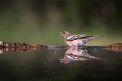 Banho do Hawfinch Imagem de Stock