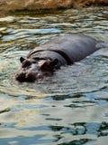 Banho do hipopótamo Fotografia de Stock