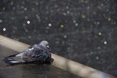 Banho do pombo Fotografia de Stock Royalty Free
