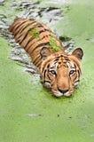 Banho do tigre Imagens de Stock Royalty Free