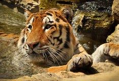 Banho do tigre Fotografia de Stock