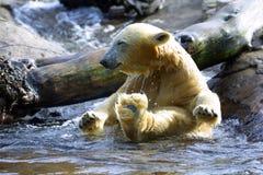 Banho do urso polar fotografia de stock