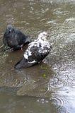Banho dos pombos Foto de Stock Royalty Free
