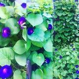 Banho na glória de flores bonitas da manhã imagens de stock royalty free