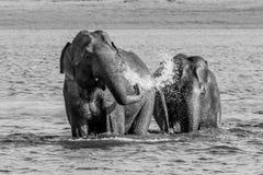 Banho selvagem dos pares dos elefantes foto de stock