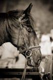 banhoppning för 031 häst Royaltyfri Fotografi