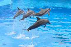 Banhoppning för Bottlenosedelfin Royaltyfria Bilder