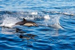 Banhoppning för gemensam delfin utanför havet Fotografering för Bildbyråer