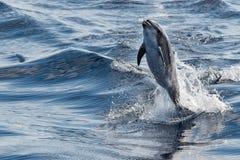 Banhoppning för gemensam delfin utanför havet Royaltyfri Bild