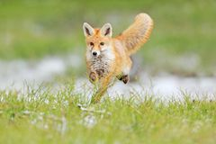 Banhoppning för röd räv, Vulpesvulpes, djurlivplats från Europa Orange djur för pälslag i naturlivsmiljön Räv på den gröna skogen arkivbilder
