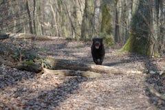 banhoppning labrador royaltyfria bilder