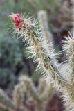BanhoppningCholla kaktus i blom Fotografering för Bildbyråer