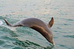 Banhoppningdelfin Royaltyfri Foto