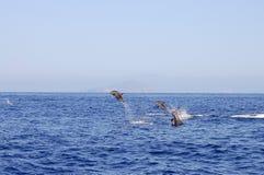 Banhoppningdelfin - Galapagos - Ecuador Fotografering för Bildbyråer