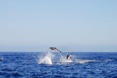 Banhoppningdelfin - Galapagos - Ecuador Royaltyfri Bild