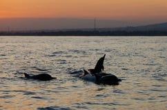 Banhoppningdelfin på den Lovina stranden Arkivfoto