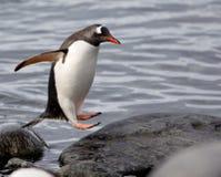 BanhoppningGentoo pingvin Arkivfoto