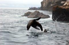 Banhoppningsjölejon i Galapagos vatten Arkivbild