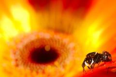 Banhoppningspindel i blomma Royaltyfri Foto