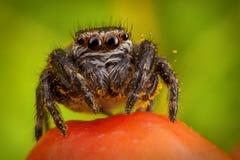 Banhoppningspindel och ashberry Arkivfoto