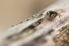 Banhoppningspindel på trä Royaltyfri Foto