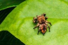 Banhoppningspindel på den gröna leafen Fotografering för Bildbyråer