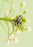 Banhoppningspindel - Salticus scenicus Arkivfoto
