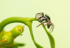 Banhoppningspindel - Salticus scenicus Arkivfoton