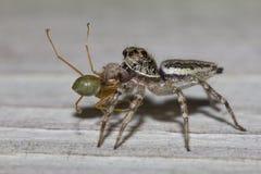 Banhoppningspindel som äter den gröna myran Arkivbild