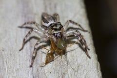 Banhoppningspindel som äter den gröna myran Arkivfoto