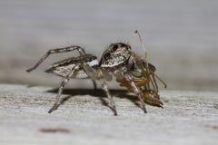 Banhoppningspindel som äter den gröna myran Arkivbilder