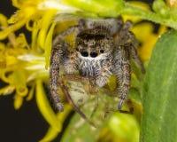 Banhoppningspindel som konsumerar en Orb Weaver Spider arkivfoton