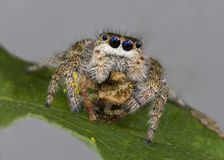 Banhoppningspindel som konsumerar en Orb Weaver Spider royaltyfri bild
