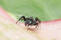 Banhoppningspindel, spindel Royaltyfri Foto