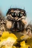 Banhoppningspindel, tillbaka spindel för sebra, spindel, Salticus scenicus, Salticidae Royaltyfri Foto