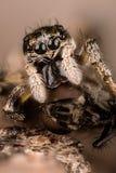 Banhoppningspindel, tillbaka spindel för sebra, spindel, Salticus scenicus, Salticidae Arkivfoto