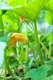 Bani rośliny z okwitnięciem w ogródzie Zdjęcie Stock