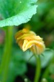 Bani rośliny z okwitnięciem w ogródzie Obraz Stock