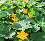 Bania, kabaczek roślina Kabaczek, courgette, bania, jarzynowego szpika kostnego żółty kwiat z zielenią opuszcza kwitnąć Warzywo j obraz royalty free