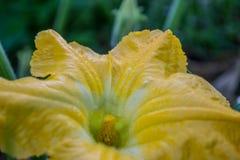 Bania kwiaty Fotografia Stock