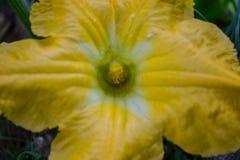 Bania kwiaty Fotografia Royalty Free