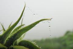 Bania pączek z pająk sieciami i Dewdrops Obraz Stock