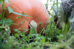 Bania w ogródzie Fotografia Stock