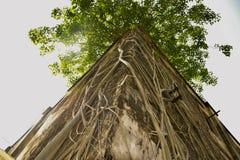 Banian couvert de racines sur le toit de la vieille maison de dommages photo stock
