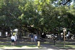 BANIAN TREE Stock Photo