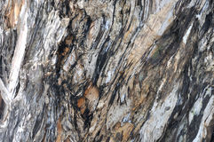 Banian tree trunk surface color and texture Stock Photos
